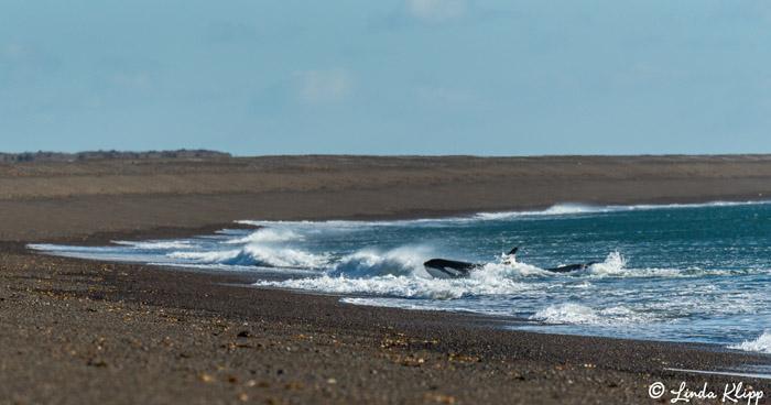 Orca Beach Attack  21