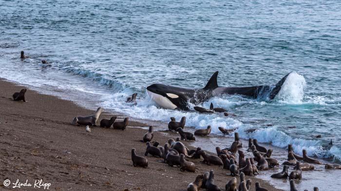 Orca Beach Attack  25