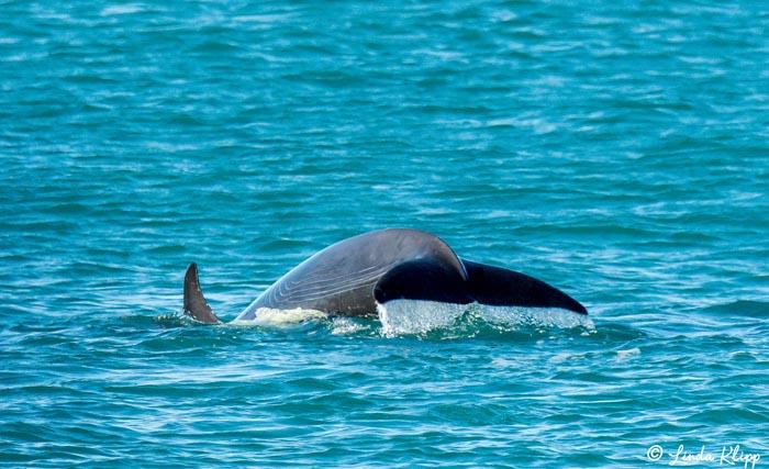 Orca Fluke  1