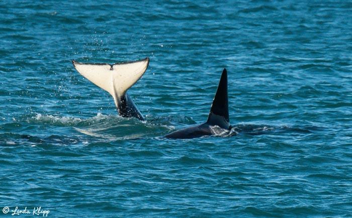 Orca Fluke  2