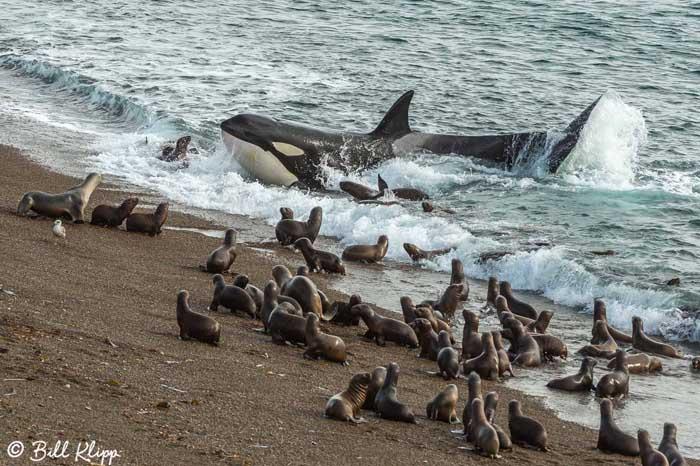 Killer Whale Beach Attack  26