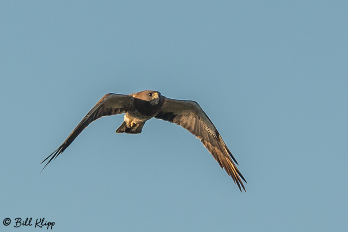 Swainsons Hawk  1