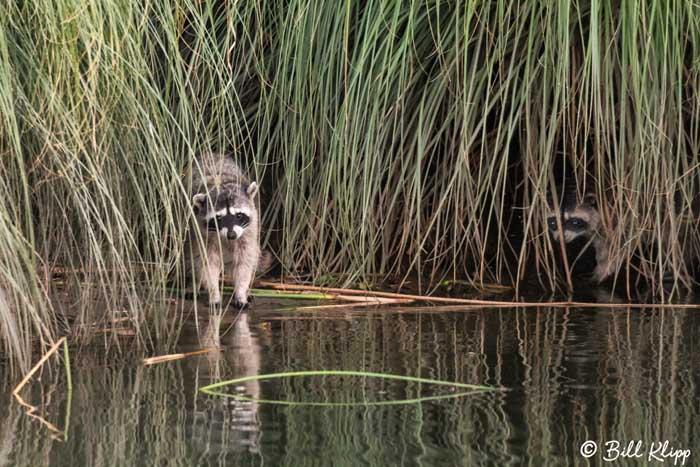 Raccoon  3