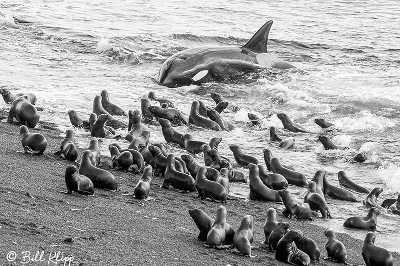 Killer Whale Beach Attack  13 B&W