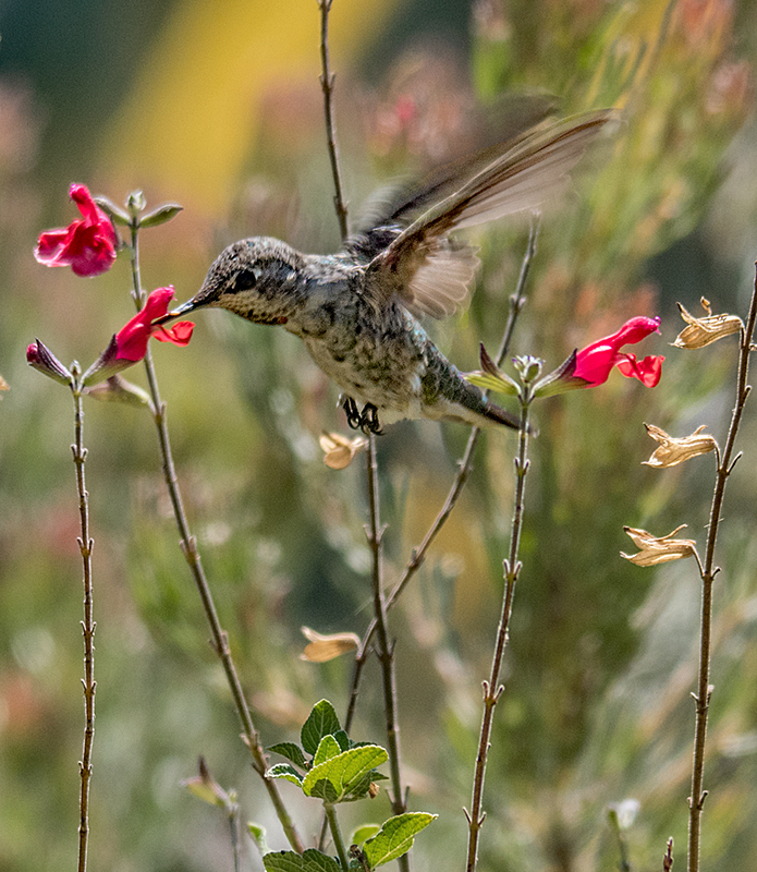 Active Hummingbird