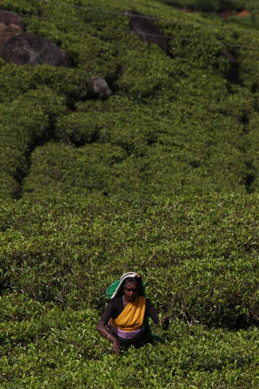 Worker at a tea plantation