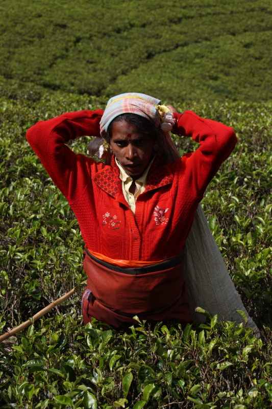 Worker at a tea plantation