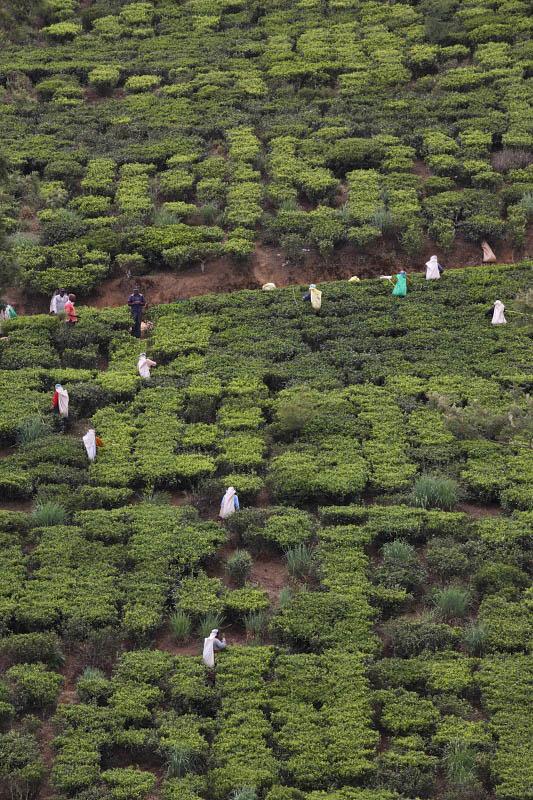 On the way to Ramboda, tea plantation