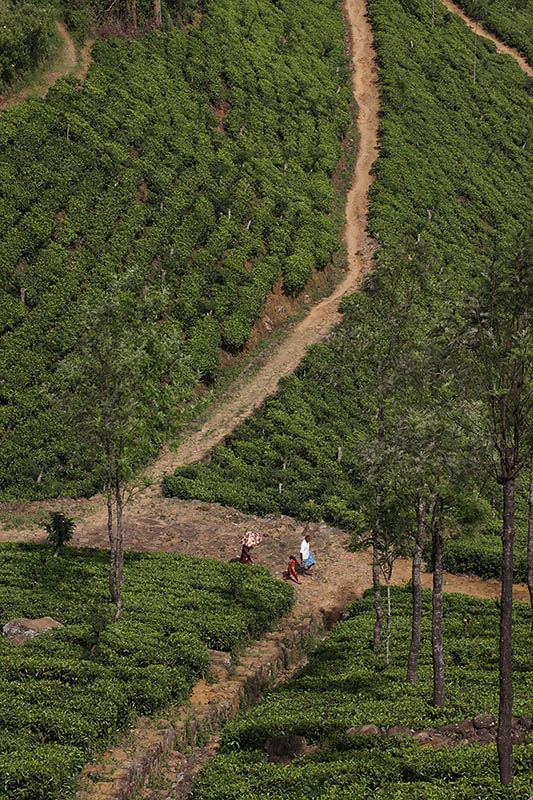 Tea plantation along A2