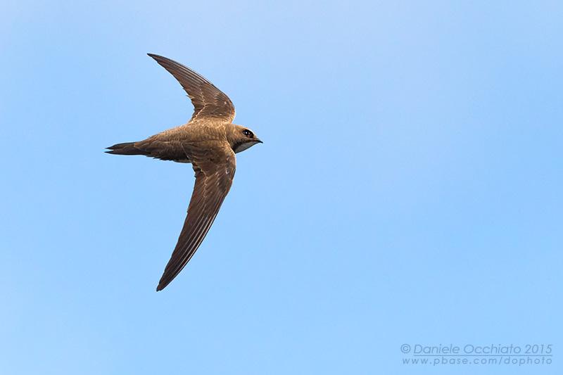 Apline Swift (Tachymarptis melba)
