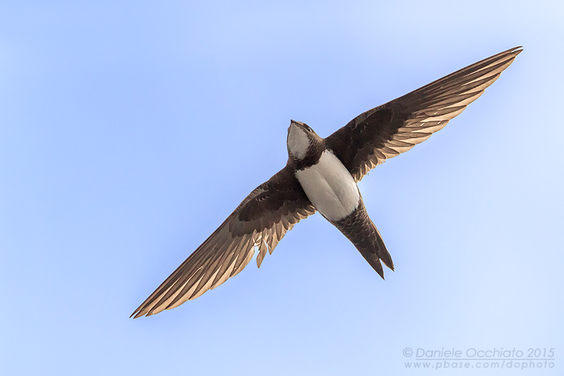 Apline Swift (Tachymarptis melba)