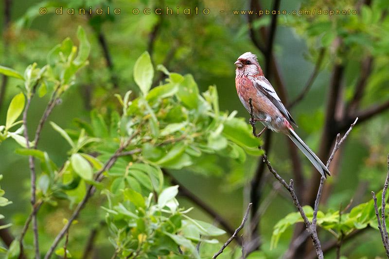 Long-tailed Rosefinch (Uragus sibiricus)