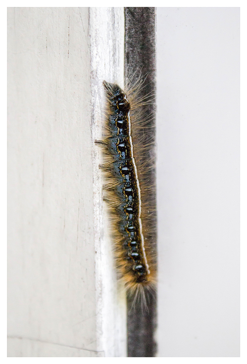 Eastern tent caterpillar; the species Norah smuggled to school