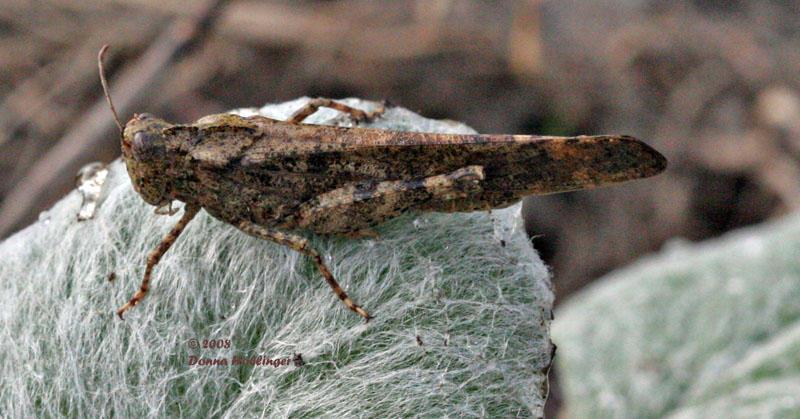 Locust on Sage
