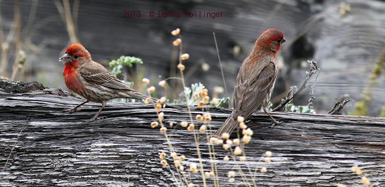 2 House Finches