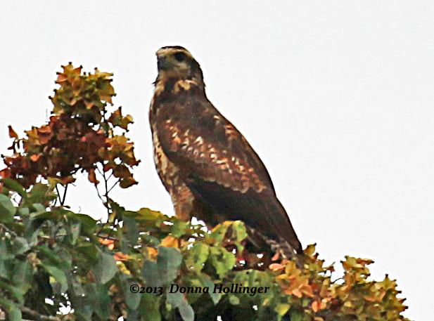 Black-chested Buzzard-Eagle  immature  maybe?