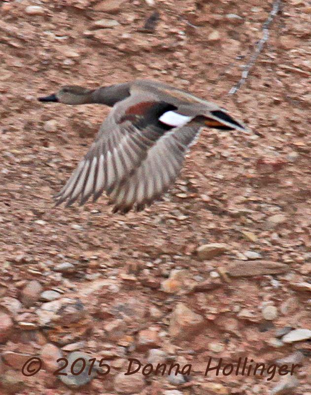 Gadwall Flying (Anas strepera)