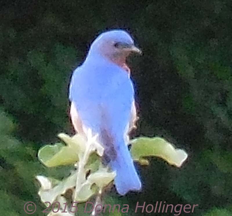 I was losing the light, but this Bluebird was still bright enough