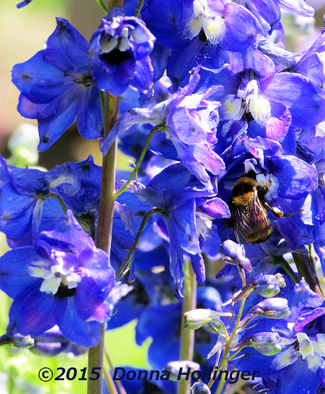 Homestead Delphinium with Bee