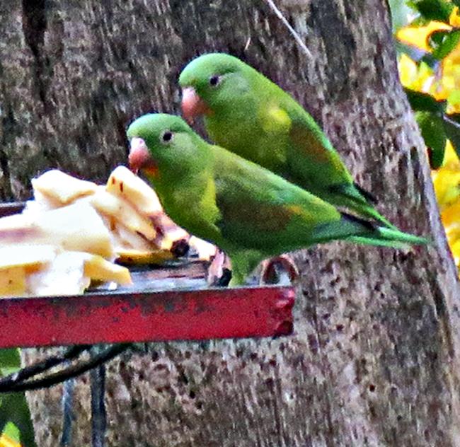 2 Orange-chinned Parakeets