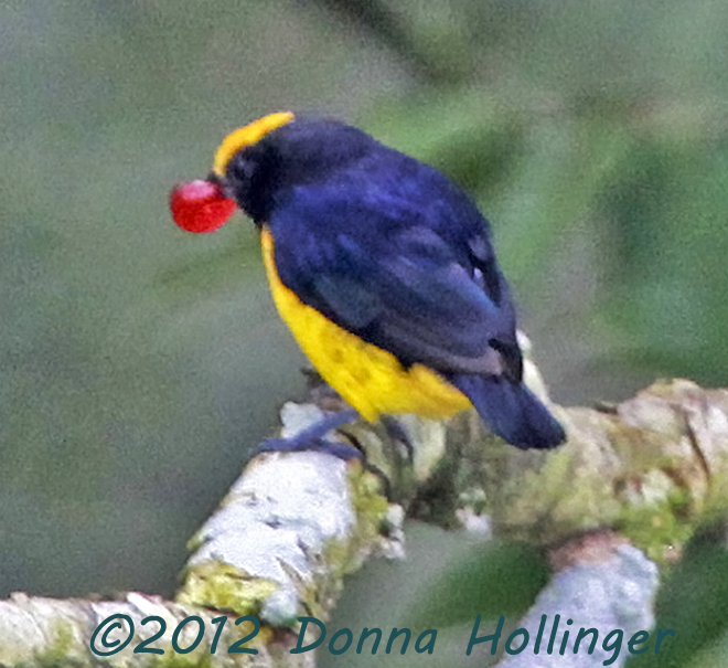 Orange Bellied Euphonia with Berry