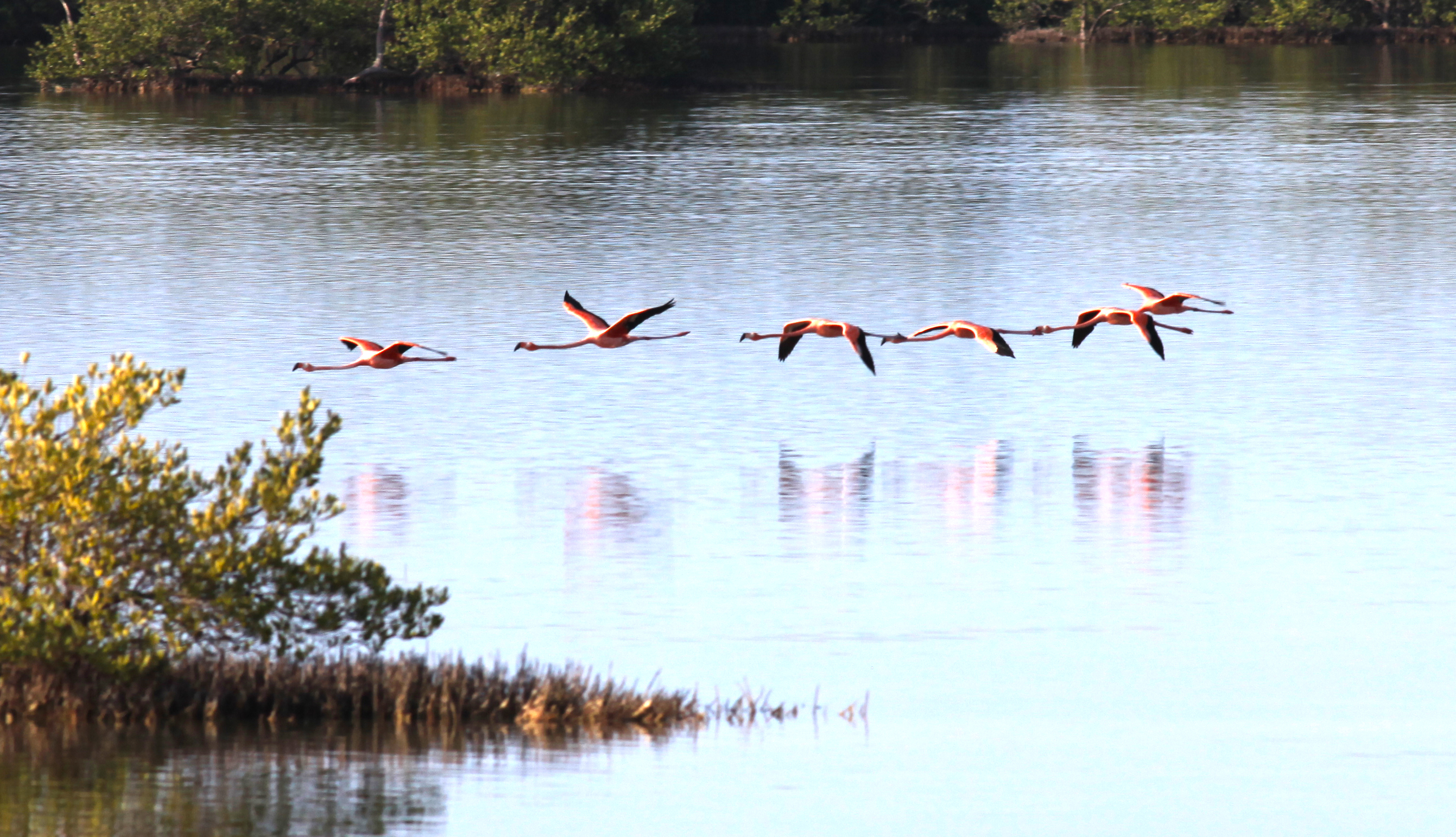 The Chorus Line of Greater Flamingos