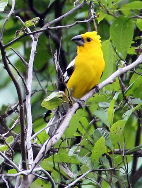Southern Yellow Grosbeak