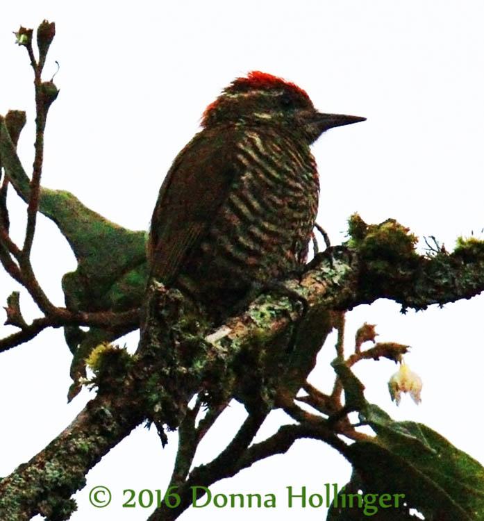 750.8028 Woodpecker.copy.jpg