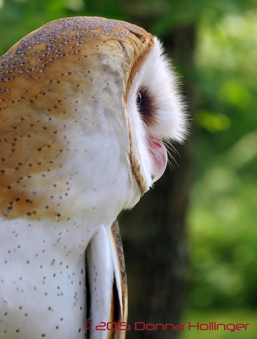 Closeup of the Barn Owl At VINS