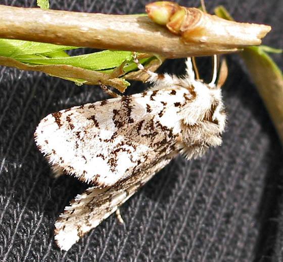 Cerura Scitiscripta, Black Etched Prominent Moth