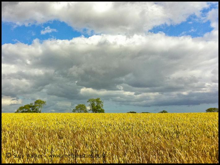 Dorset Corn