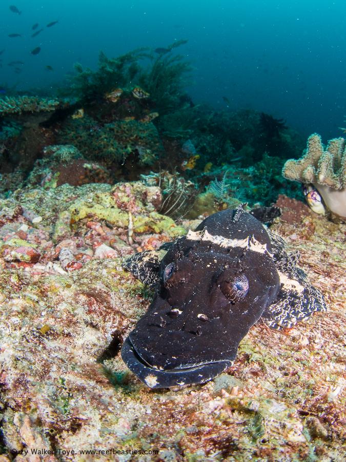 Black crocodile fish - Dampier Strait