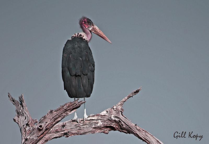 Marabou Stork3.jpg