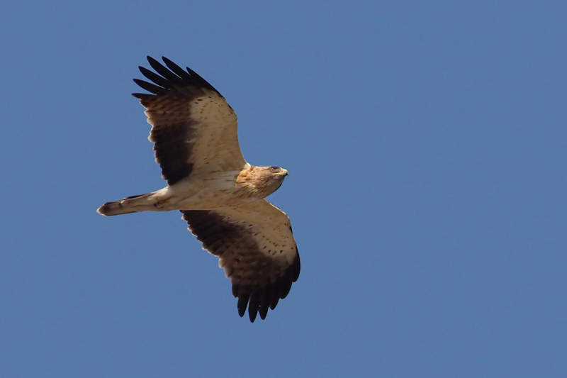Booted eagle (hieraaetus pennatus), Dadia, Greece, September 2008