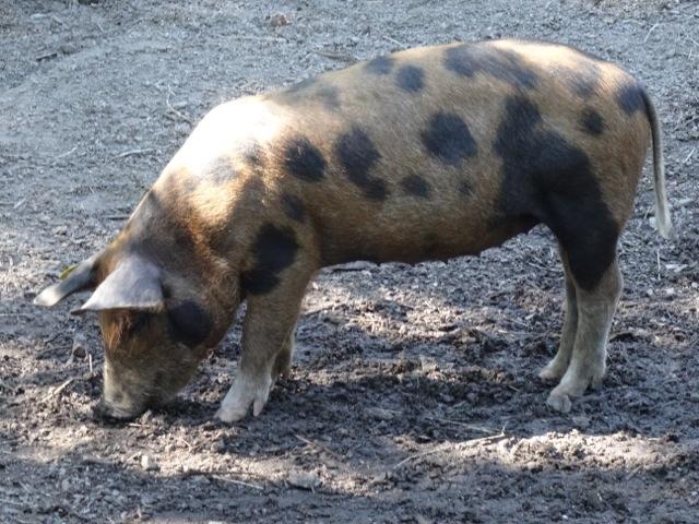Pig, Oxtorp Farmstead