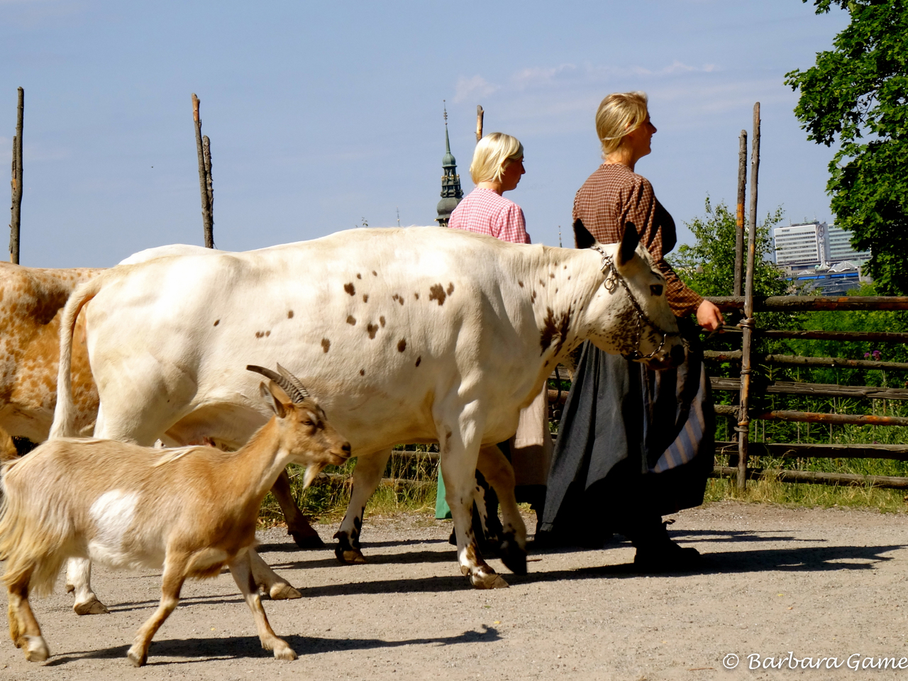 Leading the cows to pasture