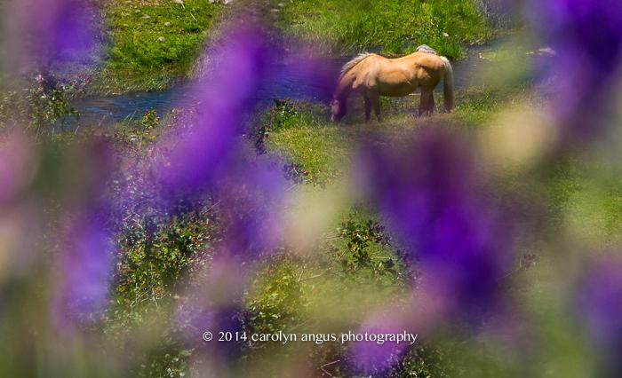 Purples and Palomino