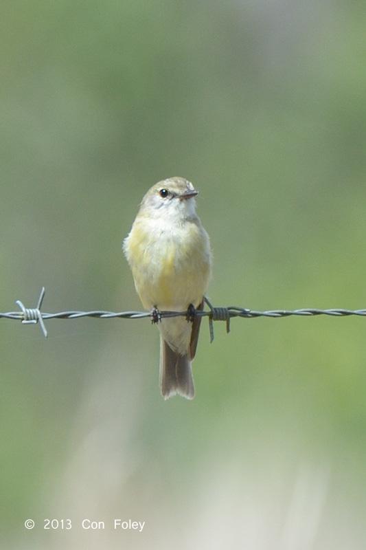 Flycatcher Lemon-bellied @ Julatten