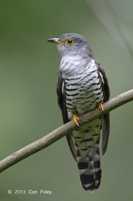 Cuckoo, Indian (adult male) @ Bidadari
