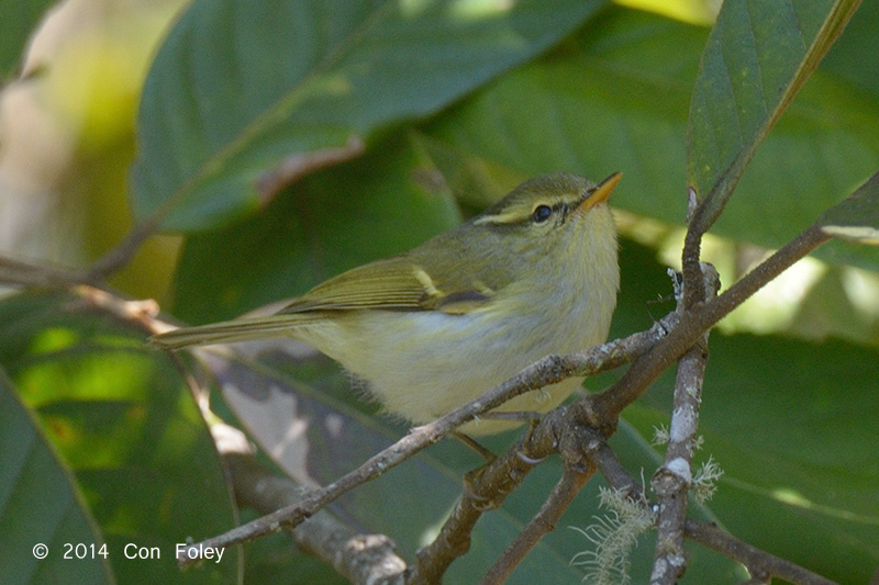 Warbler, White-tailed Leaf @ Doi Lang