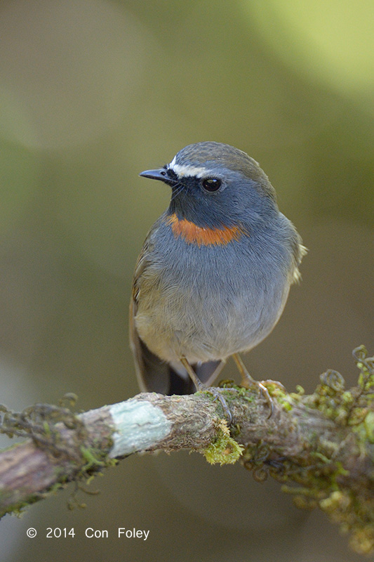 Flycatcher, Rufous-gorgeted (male) @ Doi Lang