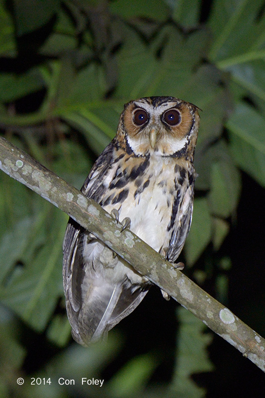 Owl, Giant Scops @ Eden Resort