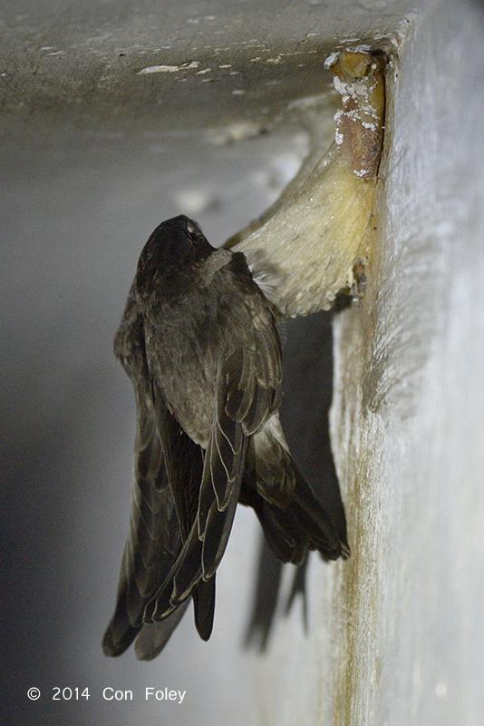 Swiftlet, Edible-Nest (nestling)