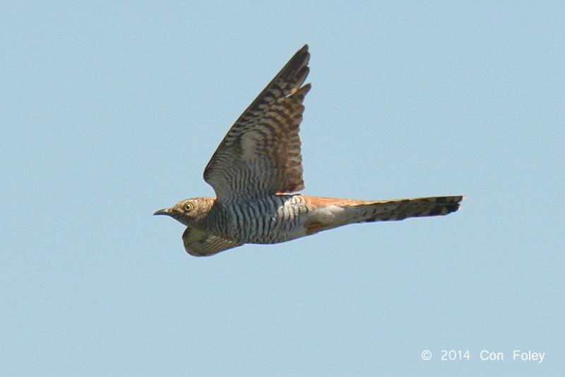 Cuckoo, Common (hepatic morph female) @ Neusiedl, Hungary