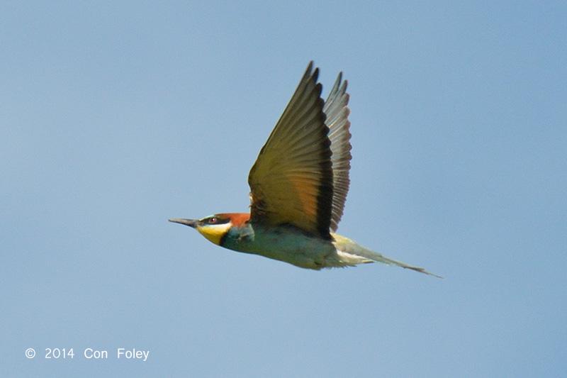 Bee-eater, European @ Hungary