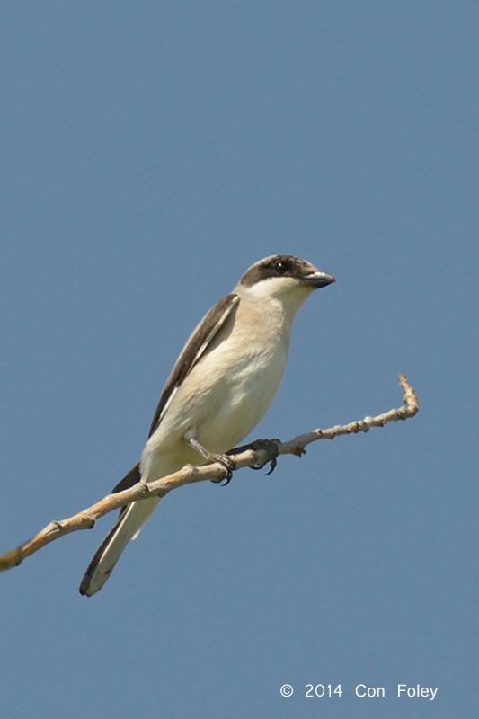 Shrike, Lesser Grey @ Hungary