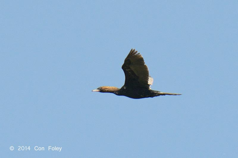 Cormorant, Pygmy @ Hungary
