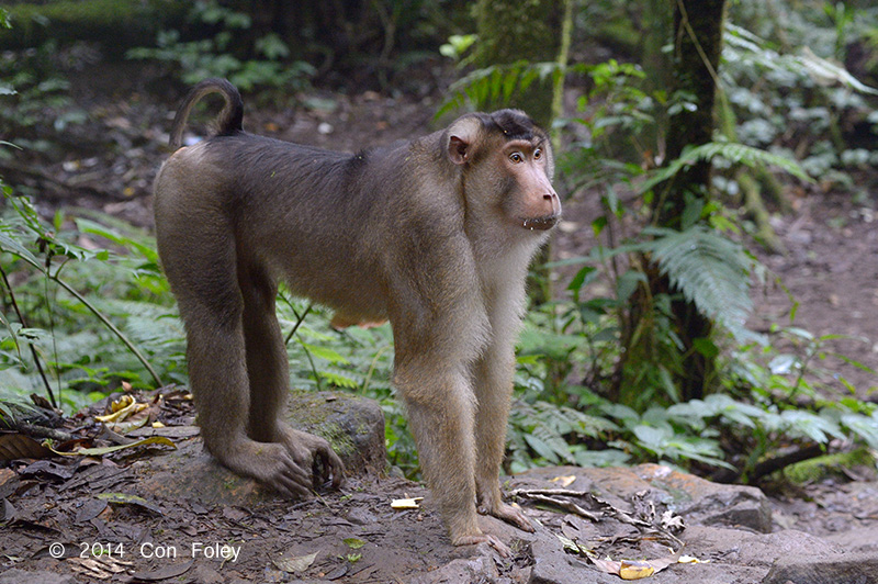 Macaque, Southern Pig-tailed @ Gede