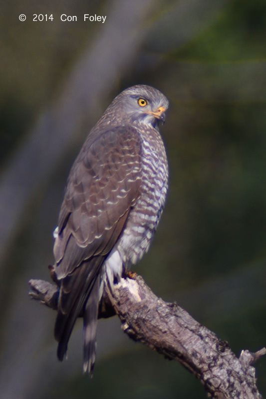 Buzzard, Grey-faced @ Doi Lang