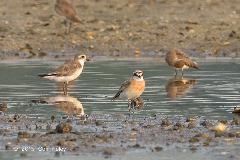 Plover, Lesser Sand @ Seletar